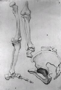 Beenderen van een linkerbeen, en profil van rechts, van heup naar tenen, daarnaast een detail van een dijbeen en de helft van het bekken