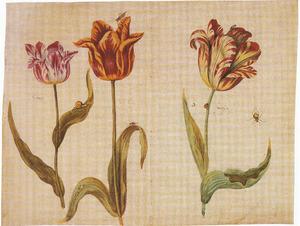 Drie tulpen (Cornart, Tulp cron en De ƒwitƒer) met een slak en insecten