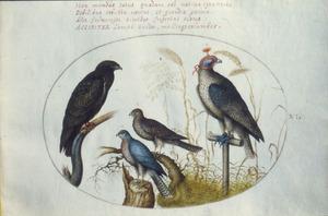 Vier roofvogels, waarvan een met huif op stok