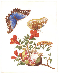 Granaatappelbloesem en opengebarsten vrucht, blauwe morpho, bandenpijlstaart en rups en pop van grote page