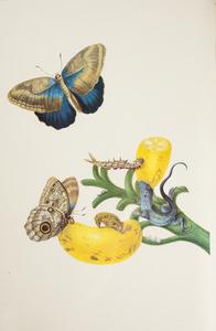Banaan met grote teucer-uil en wenkpootje