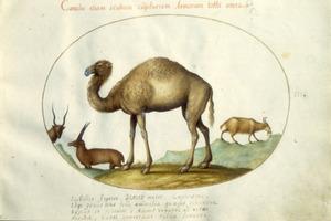 Dromedaris, bok, en twee antilopeachtigen