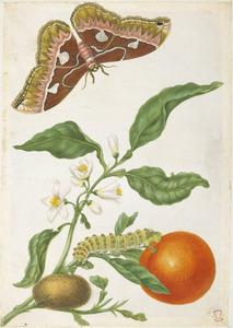 Citrusvrucht met metamorfose van de gouden Rothschildia