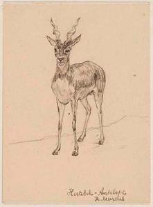 Hertebok-Antilope