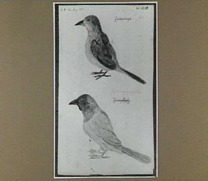 Guirapitinga en Guirapongoby (Braziliaanse vogels)