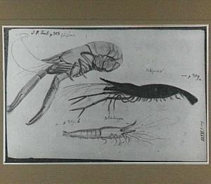 Drie Braziliaanse garnalen (een Potipêma, een Potiguaçû en een Potiatinga)