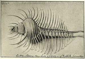 Studie van schelp 'Murex tenuispinus'