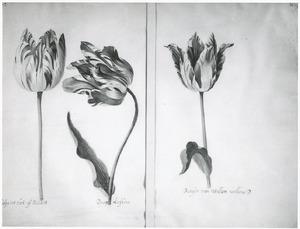 Drie tulpen (Tulipa int hart off Bellaert, Parago Liefkens en Branson van Willem Willemsz)