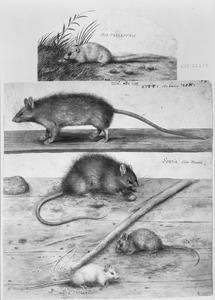 Hazelmuis, muizen en ratten