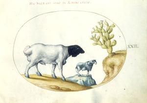 Rund, geit en lidcactus