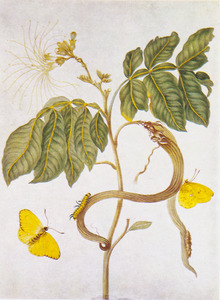 Zoete boontjes met metamorfose van het reuzengeeltje
