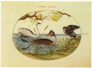 Appelboom, perenboom, Knobbelzwaan, Fuut en Pestvogel