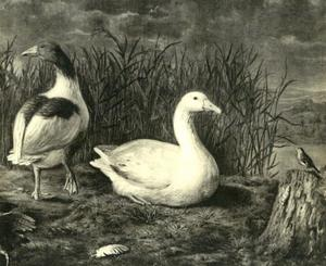 Twee ganzenn op de oever van een water