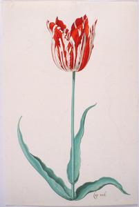 Tulp 'Koornhert'