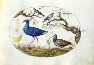 Amerikaans purperhoen, snip en twee zangvogels