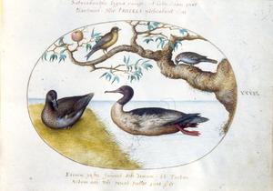 Twee zangvogels en twee eendachtigen