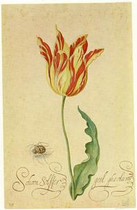 Studie van tulp 'Schoon Solffer geel ghevlamt' en spin