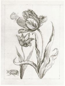 Tulpen, heidevlinder en meikever