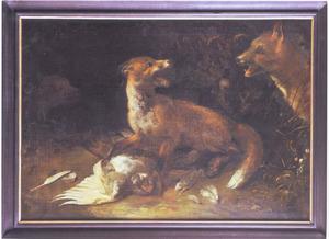 Drie vossen vechten om een dode duif