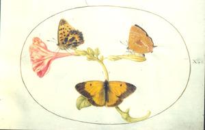 Drie vlinders en een bloem, de Mirabilis jalapa
