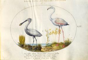 Lepelaar en flamingo