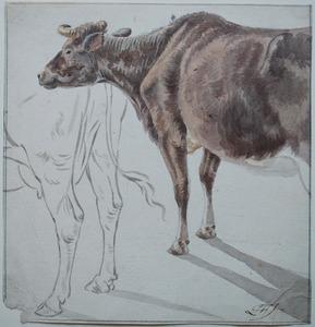 Studies van een roodbonte koe
