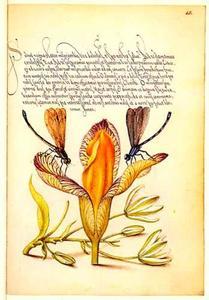 Bonte lis, gewone vogelmelk en twee libellen