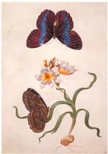 Ixia met twee Morfovlinders