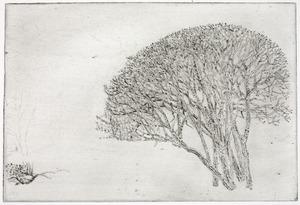 Jonge notenboom, Rhijnauwen