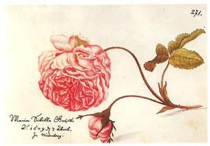 Bataafse roos