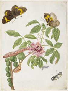 Kralenboom met metamorfosen van de zwarte witvleugelvlinder en de sophora uil