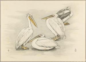 Vier Pelikanen
