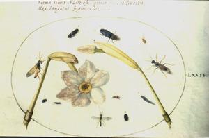 Twee dichtersnarcissen, waarvan een in knop en elf insecten