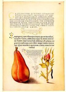 Franse roos en een peer