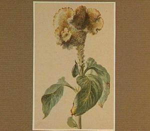 Gele hanekam (Amaranthus)