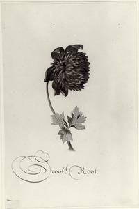 Studie van anemoon 'Groote root'