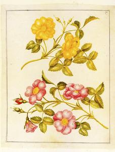 Gele roos en egelantier