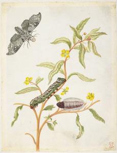 Primulawilg met metamorfose de madoryxpijlstaart