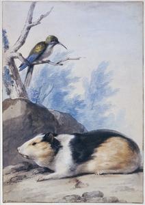 Wilde cavia en grijsborstsabelvleugel (familie kolibrie)