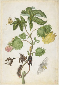 Amerikaanse katoen, gouddrupje, hypercompe en ecpantheria icasia