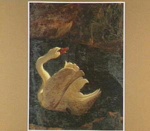 Zwemmende zwaan, achterom kijkend