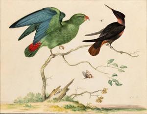 Groene hangparkiet, Bruinborstbriljantkolibrie, mug en vlinder