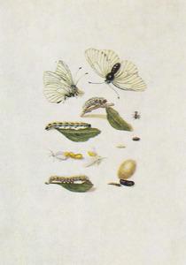 Blad van sleedoorn, metamorfose van zwartgeaderd witje, bastaardsatijnvlinder rups en parasietvlieg