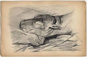De kop van het slapende nijlpaardje Herman jr.