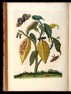 Cacao, automeria mot en langstaart dikkopje