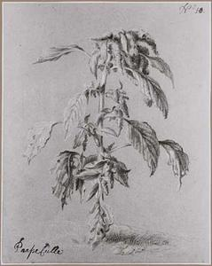 Amaranthus Tricolor Linnaeus