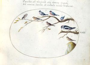 Acht vogels, vinkachtigen