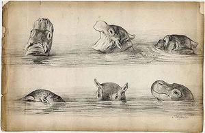 Schetsblad met 6 schetsen van een zwemmend nijlpaard