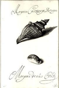 Studie van schelpen 'Morijaen Carstanye Bruijn' en 'Moryaen Venús Coús'