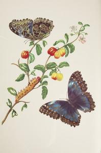 Westindische kers en deidamia morpho vlinder